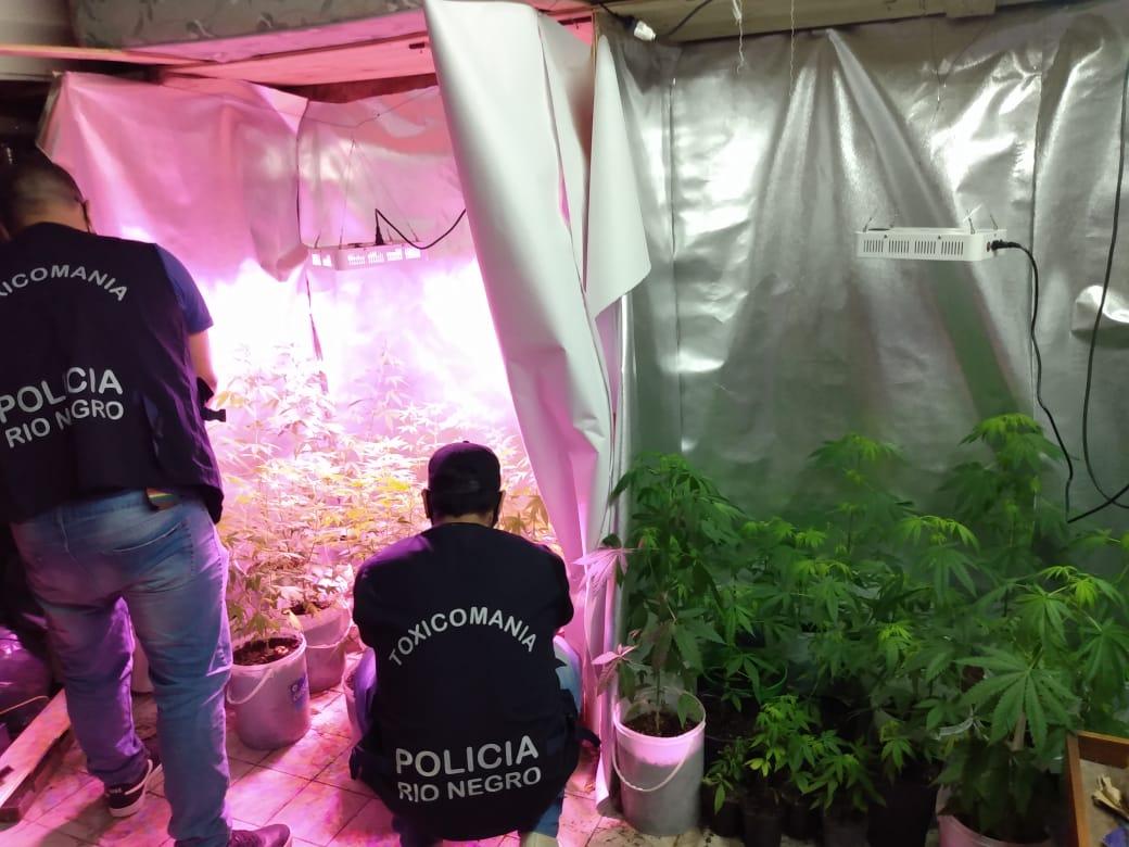 Viedma: Secuestran 41 plantas de marihuana que eran cultivadas en el patio de una vivienda
