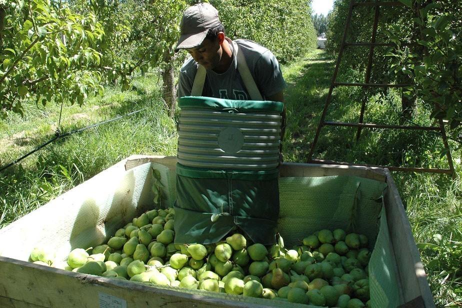 Siguen llegando trabajadores migrantes para la cosecha en el Alto Valle